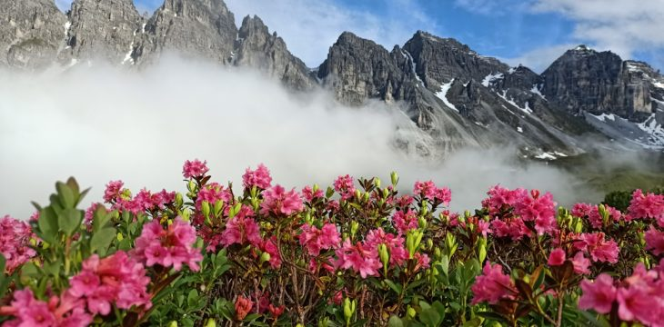 the alpine roses are in bloom